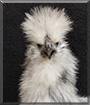 Baoji the Silkie Bantam Chicken