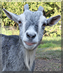 Periwinkle the Pygmy Goat