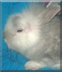 Fluffy the Lionhead Rabbit mix