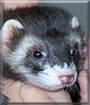 Ninja the Polecat, Ferret mix