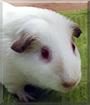 Alexa the Himalayan Guinea Pig