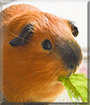 Bruno Sweep the Guinea Pig