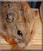 Hemi the Siberian Dwarf Hamster