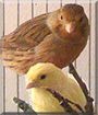 Fanni and Bonchi the Canary Birds