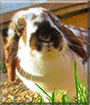 Ton Ton the Holland Lop Rabbit