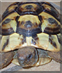 Anne-Mone the Sulcata Tortoise