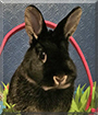 Mr. Thackery-Binx the Netherland Dwarf Rabbit