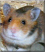 Teddy the Syrian Hamster