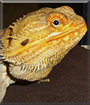 Buddy the Fancy Bearded Dragon