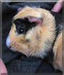Berry the Guinea Pig