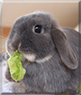 Effie the Mini Lop Rabbit