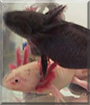 Gustav and Gretchen the Axolotl