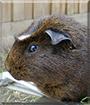 Possum the Guinea Pig