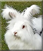 LaLuna the English Angora Rabbit