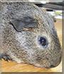 Silver the Agouti Guinea Pig