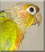 Tookie the Green Cheeked Conure