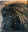 Fuzzy the Peruvian Guinea Pig