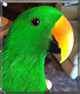 Chico the Solomon Island Eclectus
