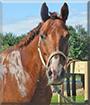 Derby the Appendix Quarter Horse