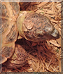Norman the Russian Tortoise