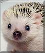 Robb the African Pygmy Hedgehog