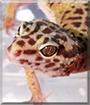 Leeloo the Leopard Gecko