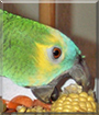 Mikki the Blue Fronted Amazon Parrot