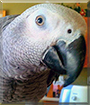 Dusty the Congo African Grey Parrot