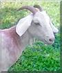 Dr. Willie Evial the Boer Goat