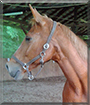 Hasi the Mecklenburger Horse