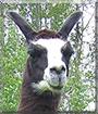 Korky the Llama