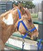 Hotty the Paint Pony
