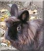 Groo the Lionhead mix Rabbit