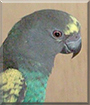 Chikai the Meyers Parrot