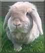 Valentina the Lop Rabbit