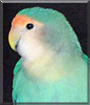 Noel the Peach-faced Lovebird