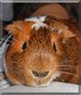 Arnie the Guinea Pig