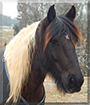 Wasabi the Gypsy Vanner/Friesian Horse cross