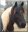 Wasabi the Gypsy Vanner/Friesian Horse cross