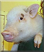 Penelope the Pot-bellied Pig