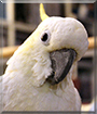 Bella the Lesser Sulfur-Crested Cockatoo