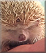 Sonic the African Pygmy Hedgehog