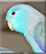 Martin the Pacific Parrotlet