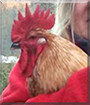 Rooibos the Mixed breed Chicken