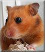 Prim the Hamster