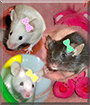 Trixi, Pixi and Dixi the Fancy Mice