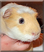 Taylor the American Crested Guinea Pig