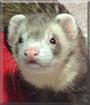 Cooper the Ferret