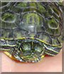 Clyde the Red-Eared Slider Turtle
