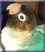 Chloe the Black Masked Lovebird